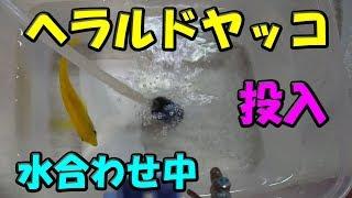 ヘラルドヤッコ(エンゼル)を投入です (91) 2017/09/22 【Aquarium】