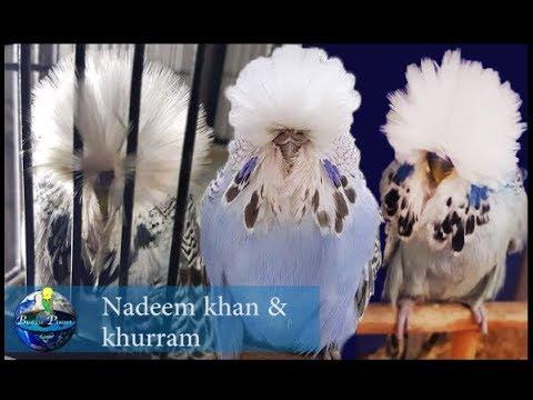 Nadeem Khan & Khurram | Pakistan | 2019 - Aviary Visit [Budgie Planet] Exhibition Budgies