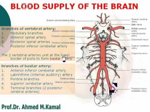 70NeuroAnatomy - Blood supply of the brain - YouTube
