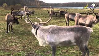 Северные олени в Подмосковье