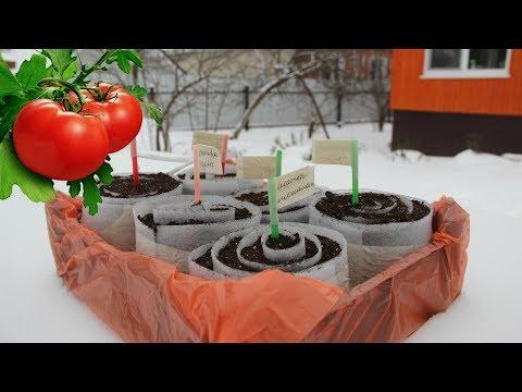 семена томатов на рассаду