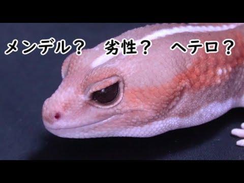 【劣性遺伝編】ニシアフで学ぶ爬虫類の遺伝学!