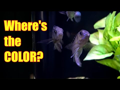 Top 5 Reasons Why Fish Don't Color Up [African Cichlids that Stay Gray!]