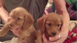 Two Girl Miniature Dachshund Puppies Akc - Ready To Go - In Bend, Oregon