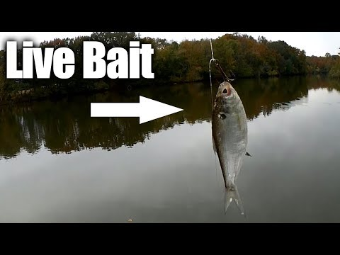 Bass Fishing with Live Bait on a Drop Shot Rig