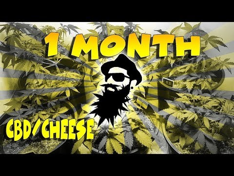 Closet AutoFlower Grow - MONTH 1 - NEW STRAIN REVEAL (crop king seeds) CDB CHEESE & SOUR GIRL