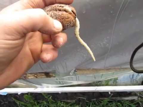 Donmuş ceviz tohumu
