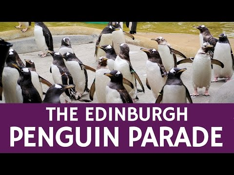 What is the Penguin Parade in Edinburgh – Travel Facts about Scotland
