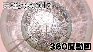【360度動画】天理の桜2017
