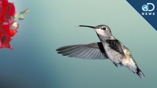What Hummingbirds Can Teach Us About Flying