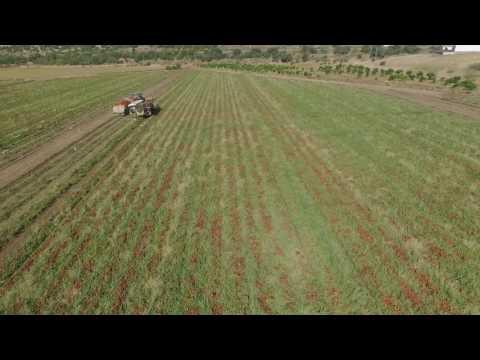 NIARSA: Recogida de tomates 6
