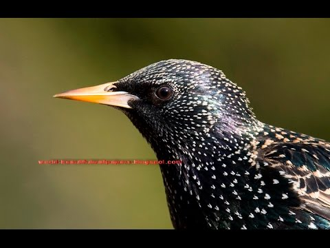 """A common """" European Starling """" singing songs and calling calls"""