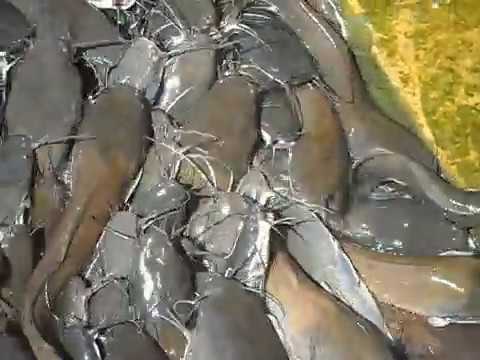 Magur Fish (Cat Fish) video taken by Marin