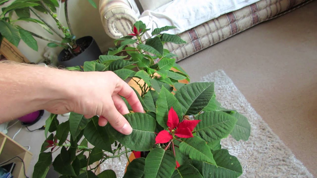 Poinsettia Turning Red