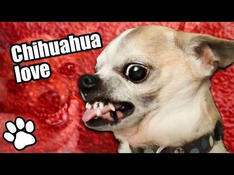 Try Not To Laugh Challenge | 36 Angry Chihuahuas #thatpetlife
