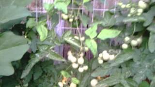 Diy Backyard Veggie Garden And Trellis San Antonio Texas 210-254-3518 210-710-8690
