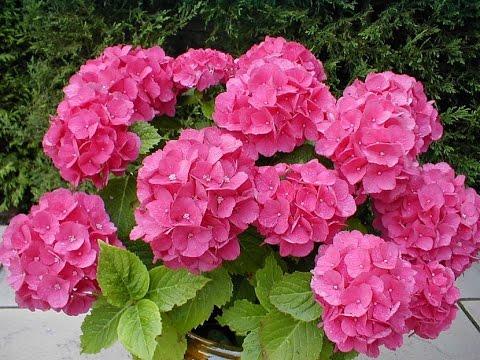 C mo cultivar geranios la flor novio tvagro por juan for Como cultivar plantas ornamentales