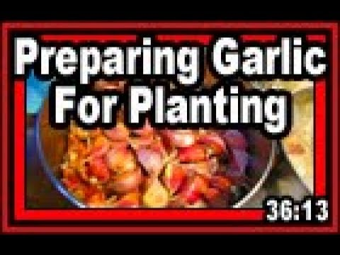 Preparing Garlic For Planting - Wisconsin Garden Video Blog 809
