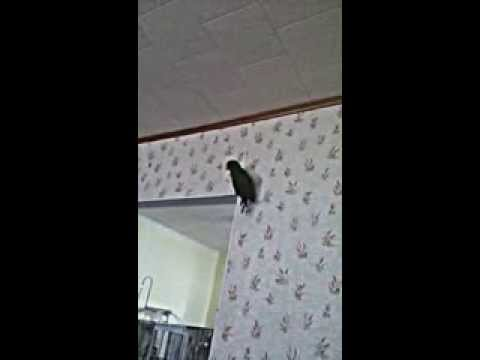 Baxter the Eclectus talking