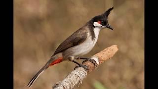 Lagu Anak - ''Burung Kutilang'' dengan lirik lagu