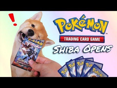Shiba Puppy Opens Pokemon Cards