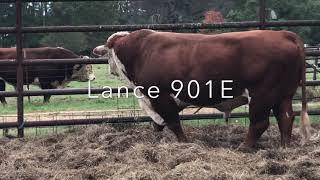 Congratulations Chad Wilson! Looking forward to LANCE 901E  calf crop!!!