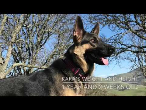 German Shepherd Height And Weight At One Year Old Gsd Kara Batilo