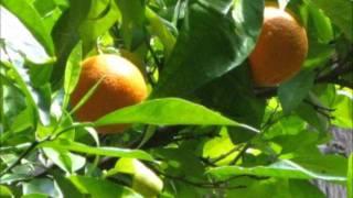 Apfelsinen im Wind