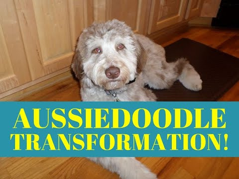 Hyperactive Aussiedoodle Transformation - Dog Training Peachtree City Ga