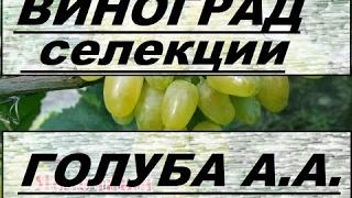 Виноград Голуба А А  Grapes of Golub AA