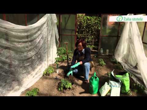 Pomidorų sodinimas į šiltnamį | Augink lengviau!