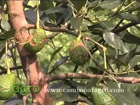 Đặc sản Đà Lạt là cây bơ - Aguacate 2