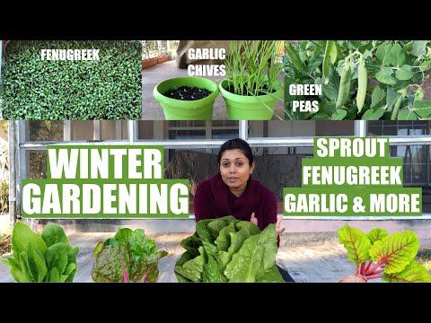 Winter Gardening Grow Green Peas Sprout Garlic Chives Onion Fenugreek Cilantro Bhavna's Kitchen