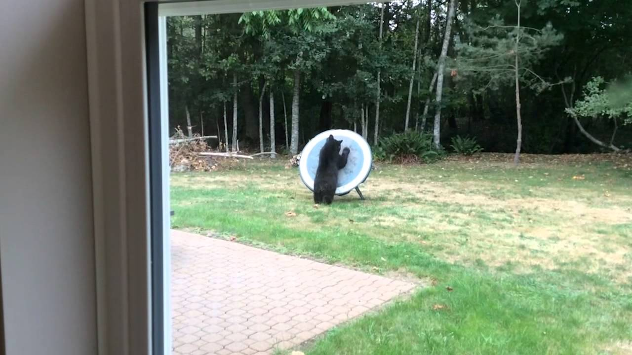 Bear Plays With Picnic Table