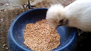 Chickens eat breakfast.