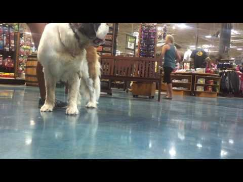 "3yr old St. Bernard ""Emmy"" 