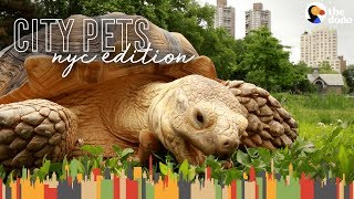 Tortoise Lives In Harlem And Hangs Out In Central Park | The Dodo City Pets thumbnail