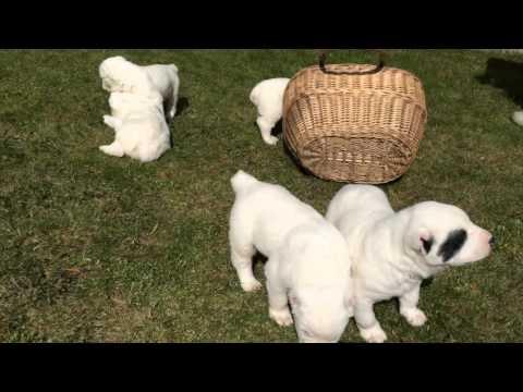 Щенки Алабая (САО) - Puppies Alabai ( Central Asian Shepherd Dog )