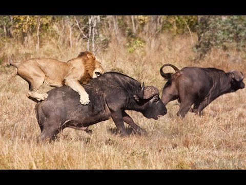 Super Killing Machines - Lions and More - National Geographic Documentary