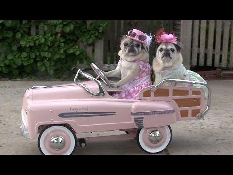 Cutest Pugs Drive Cars!