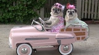 Cutest Pugs Drive Cars!