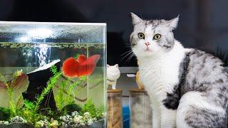 【花花与三猫】新养小红鱼到家,鼓起腮帮挑衅色弱猫,猫:信不信我把鱼缸锤烂!