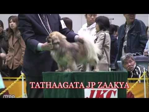 "TIBETAN SPANIEL "" JAPAN INTERNATIONAL DOG SHOW ""  1.APR.2012"