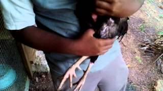 Type of hen