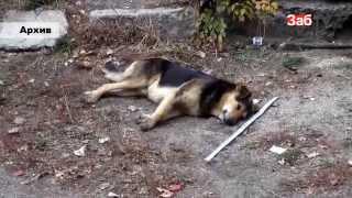 Бродячие собаки покусали в Чите 245 человек за 2013 г