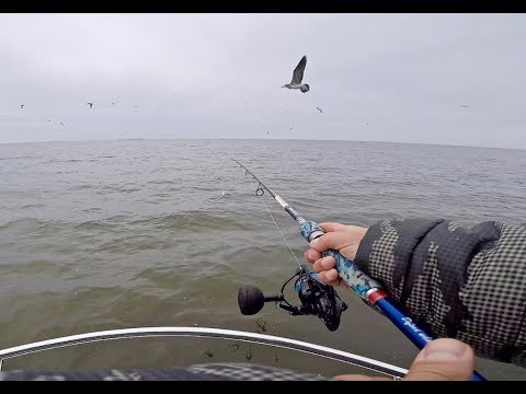Following Birds To Find STRIPED BASS - Chesapeake Bay Striper Fishing