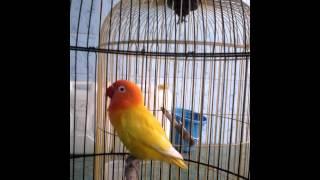 Video Love Bird-Belajar Ngekek download MP3, 3GP, MP4, WEBM, AVI, FLV November 2018