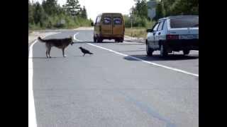Прикол на дороге.Овчарка и ворон