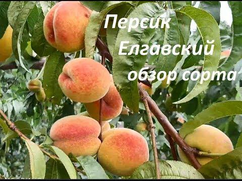 Персик Елгавский обзор сорта