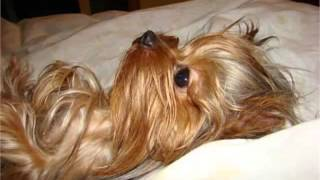Yorkshire Terrier Dog Breed | Cute Dog Picture Collection Of Breed Yorkshire Terrier